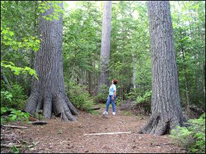 Estivant Pines, with some trees that are 300 years old and older, is found on the Keweenaw Peninsula in Michigan's Upper Peninsula.