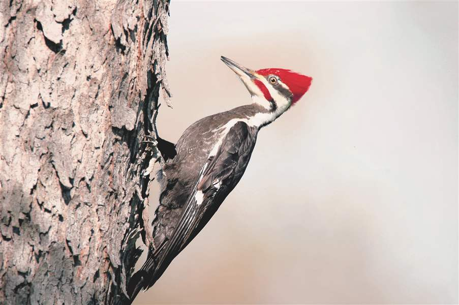 1222ODNRWoodpeckerPileated-jpg