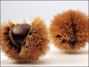 Chestnuts shed their prickly outer coverings, revealing a smooth nut. More than 100,000 pounds of chestnuts are harvested per year in Michigan and demand is high.