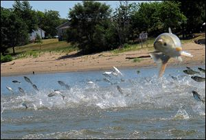 This  2012 photo shows invasive Asian carp, jolted by an electric current from a research boat, jumping from the Illinois River near Havana, Ill.