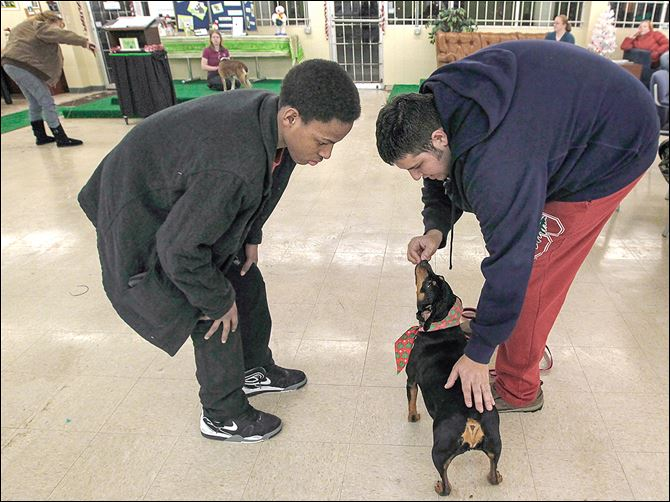 n5pet-6 Alero Jones, 14, watches trainer Jay Barman teach Boomer how to sit during the PET Bull Project's 'Teacher's Pet' program, in which at-risk youth work with hard-to-adopt dogs in Toledo.
