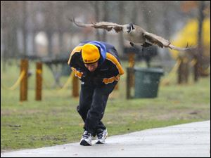 Tom Deckelman, of Sylvania, ducks as a Canada goose attacks him while he jogs in the rain on April 24 at Olander Park.  Mr. Deckelman was out for a run when the goose went after him defending the nearby nest its' mate was building.