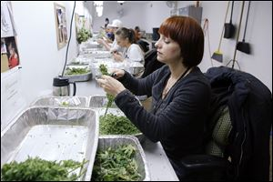 Workers process marijuana in the trimming room at the Medicine Man dispensary and grow operation in northeast Denver.