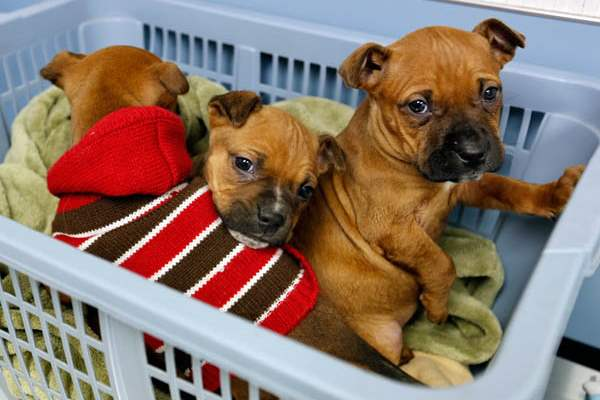 Three-puppies-found-abandoned-on-Christmas-night-huddle-in-a-basket