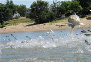 Asian carp jolted by an electric current from a research boat jump from the Illinois River near Havana, Ill., during a study on the species' population in June, 2012.