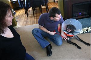 Michelle Wasy-lecki and Greg Lyons of North Toledo raised the more than $1,000 needed to help their 2-year-old 'pit bull'-mix foster dog Ladybug have surgery to help her walk. Ladybug was born with her knees too high, causing her to tear her ACLs. It will be about eight weeks un-til she recovers from the sur-gery she under-went last week.