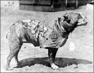 Sgt. Stubby, a bull terrier mix, went through World War I with the 102nd Infantry as the 'official unofficial' mascot. A 'pit bull'-type dog, Sgt. Stubby wears a chamois coat on which were pinned his many medals.