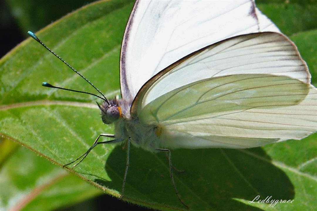 Southern-White-butterfly-1-12