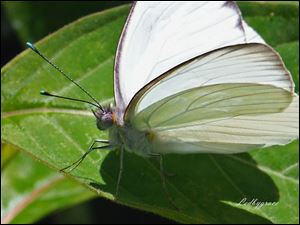 A great Southern White butterfly.