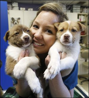 Michelle Lawrence, animal-care supervisor for the Toledo Area Humane Society, holds two of the three husky-mix puppies at the Maumee shelter. All three puppies will be in foster care for two weeks and then be available for adoption.