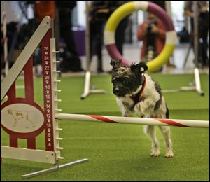 Alfie, a mixed breed, demonstrates his mastery of an agility test
