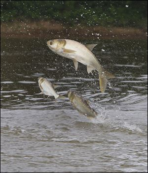 Asian Carp jump near a retention area of Wabash River in Indiana. Many favor a total separation of the Great Lakes and the Mississippi watersheds.