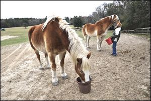 Elaine MacNamara feeds a carrot to a rescued horse as another feeds itself.