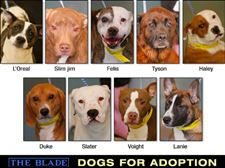 Lucas-County-Dogs-for-Adoption-1-22
