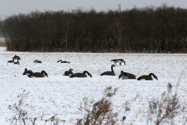 CTY-cold24p-geese