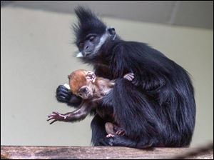 Tam, a baby male Francois' langur monkey, tries to escape the grasp of his mother, Ashes, in the Primate Forest area at the Toledo Zoo. Tam is a week old.