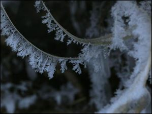 Ice crystals hang off loops of roots that have grown out of the bank of the Maumee River in Perrysburg's Orleans Park.