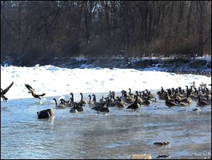 Steam rises off the Maumee River as hundreds of geese take a dip into the unfrozen portion of the river near Orleans Park in Perrysburg.