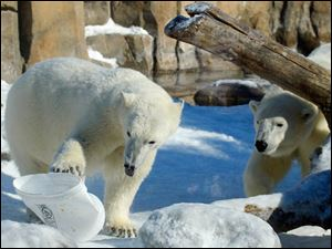 A polar bear cub, left, plays with a bucket, as its mother Crystal comes to investigate.