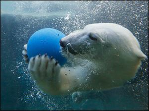 A polar bear cub plays underwater with a ball at the Toledo Zoo.