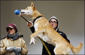 Zoo employee Tara Thompson, right,  encourages Tawny, a 1-year-old dingo, to leap while training the animal for a new show that will be available for school groups. Stacy Burhart is at her left.