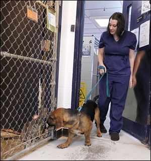 Megan Baker, assistant shelter manager at the Wood County Humane Society in Bowling Green, walks Jammer, a bassett hound mix. Ms. Baker stayed overnight to take care of the animals.