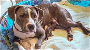 Foster 'pit bull' Paisley nurses the newborn pup, now named Celia, that was found in a garbage can on Rockingham Street in Toledo. Paisley recently lost her own litter of six puppies and has taken in this new little one as her own.