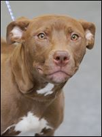 Kiki, a one year-old female pit bull mix, is now available for adoption at the Lucas County Canine Care and Control center.