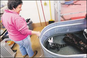 Sherry Stanfa-Stanley feeds white mice to Mushu, a Chinese alligator, at The Toledo Zoo.