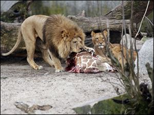 The carcass of Marius, a male giraffe, is eaten by lions after he was put down in Copenhagen Zoo on Sunday.