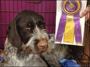 Truth Be Told, or Trudie, a 3-year-old German wirehaired pointer, took best in breed at the Westminster. Trudie was bred and trained by Lisa Minnick at Harvest Meadow Kennels in Delta. Ms. Minnick and Alice Robie Resnick of Ottawa Hills are co-owners.
