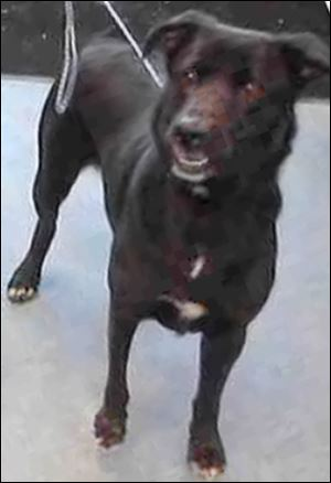Malysh, a Lab mix, was surrendered to Lucas County Canine Care & Control when his owner could no longer care for him. He was later killed for displaying food aggression.