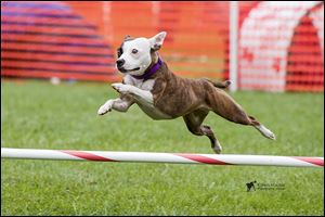 Emma, a rescue dog, was selected to be part of the Westminster agility event. She failed to advance, but Emma's owner, Christy Wrede, said it was a good experience.