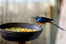 A-Golden-Breasted-Starling-sits-on-the-edge-of-the-bird-feeder