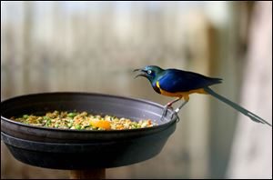A Golden-Breasted Starling sits on the edge of the bird feeder.