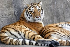 Siberian tigers lounge outside at the Toledo Zoo admission free for Lucas County residents Monday.