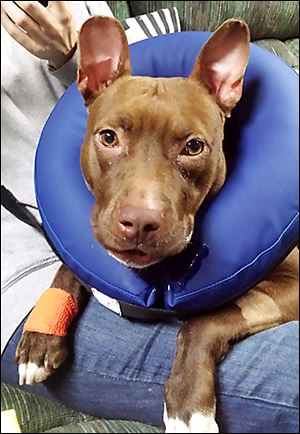 Ruthie, a 1-year-old 'pit bull' who came to the county shelter as a stray Dec. 7, began showing lameness this month, and it was discovered that she had a luxating patella. She had surgery Friday and was transferred to the care of the Lucas County Pit Crew.