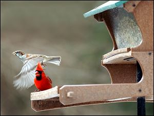 A male cardinal enjoys his dinner as a house sparrow flies by.
