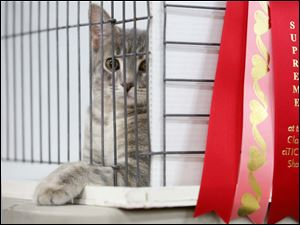 A cat waits in her cage while a big red ribbon flanks the side during the