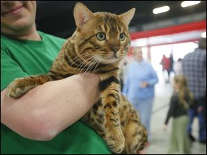 Chris Savoy carries his Maine Coon