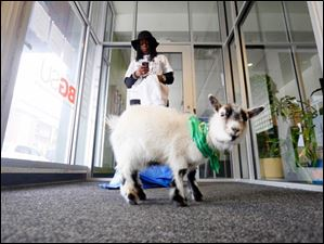 Elizabeth Harris of 'Glass City Goat Girls' waits with 'Eugen,' a 10-month-old goat.