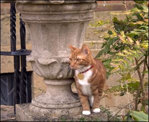 Jock VI, the new kitten who has taken up residence at Sir Winston Churchill's former country home of  Chartwell southern England to honor a request made by the ex-prime minister and his family.