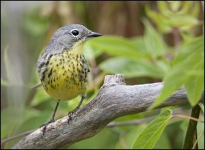 A Kirtland's warbler perches on a branch at the Ottawa National Wildlife Refuge in this file photo.