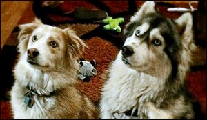 Bugger, left, and Nala were found responsible for killing two show-quality pigs in May, 2013.  The dogs' owners have challenged the Michigan Dog Law of 1919, which says their dogs must be euthanized.