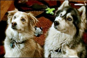 Bugger, left, and Nala were found responsible for killing two show-quality pigs and injuring a third in May, 2013. The owners of the dogs have challenged the constitutionality of the Michigan Dog Law of 1919, which says their dogs must be euthanized.