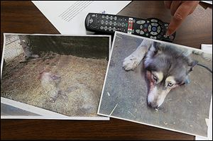 Evidence photos on a table at the Sylvania Township home of Janni Juhasz show one of the two dogs set to die in a stall with the slain pigs in Bedford Township, at left,  and blood on the muzzle of Nala, a husky that's owned by Mrs. Juhasz's daughter, Katalin Juhasz.