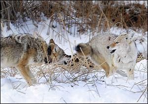 Two coyotes fight over an animal carcass