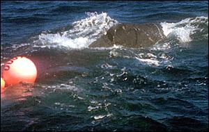 A humpback whale is seen entangled in fishing gear.
