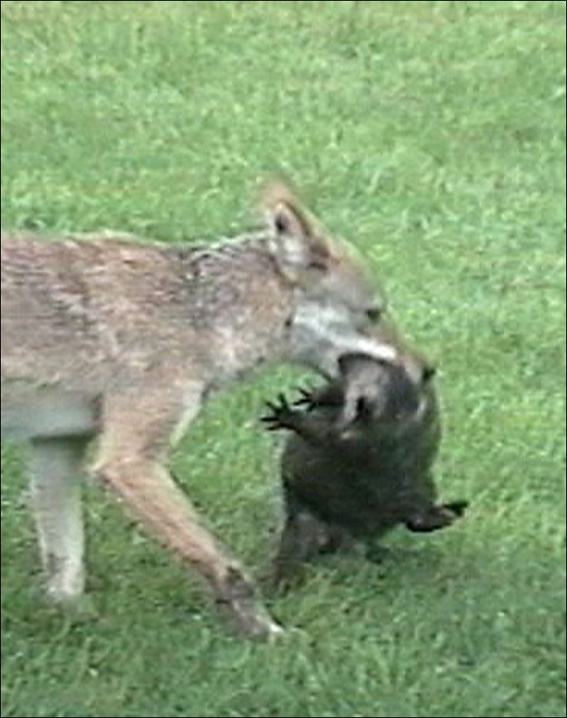 Coyote Animal Attack