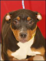 Dobbie, an 11 month-old male doberman mix,  is now available for adoption. Pound #5264  Cage #173i
